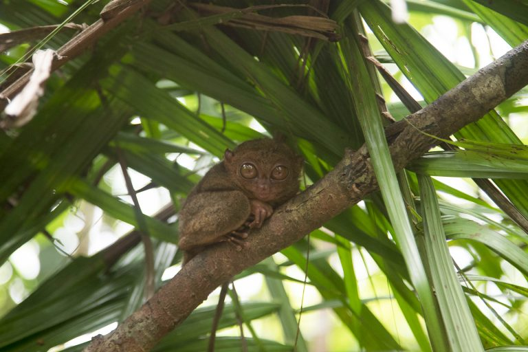 Seeing the Tarsier Monkeys in the Philippines