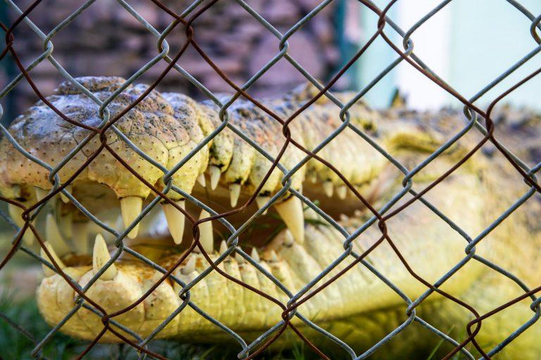 Finding Timor-Leste's Saltwater Crocodiles